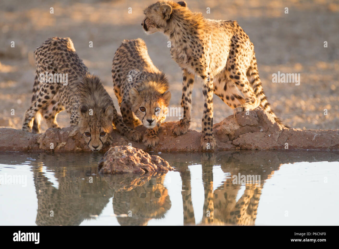 Cheetah Cubs drinking water from a Pond - Stock Image