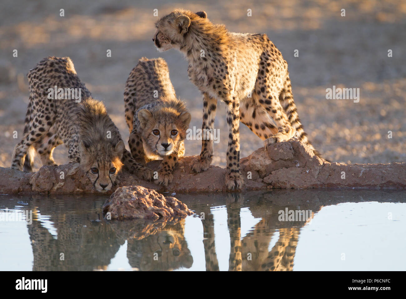 Cheetah Cubs drinking water from a Pond Stock Photo