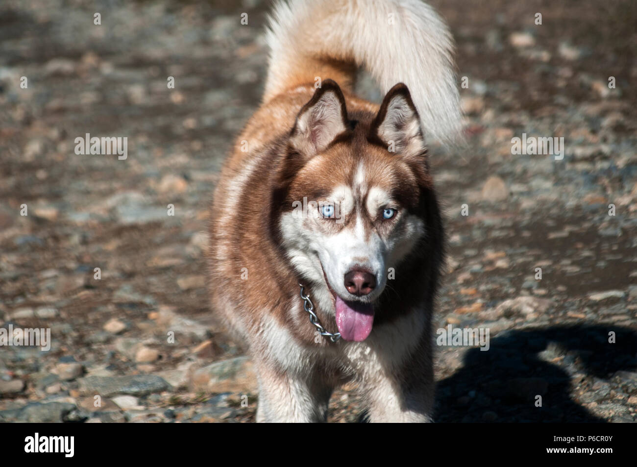 Red and white siberian male husky dog closeup on gravel road background - Stock Image