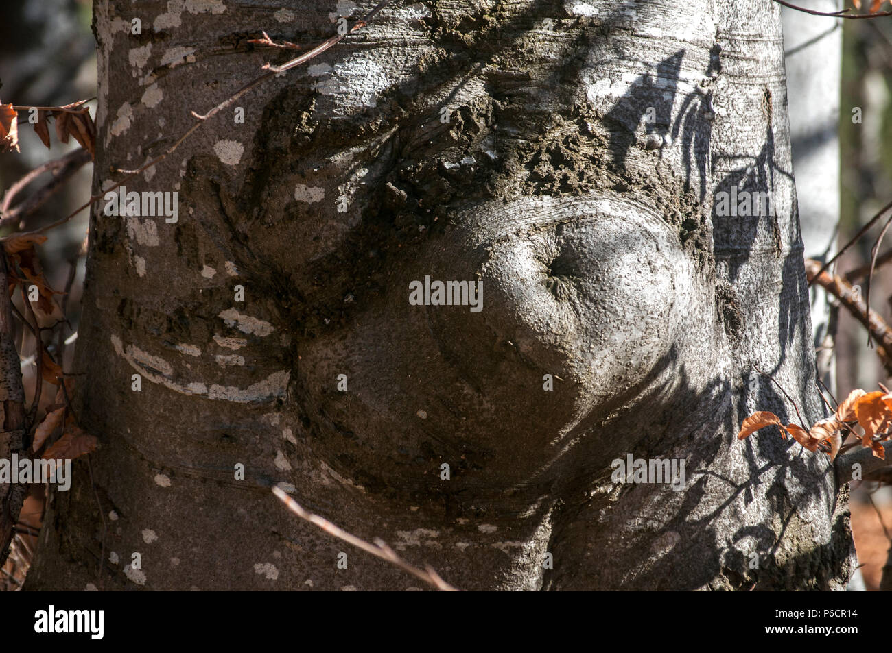 Trunk of beechwood bark closeup with a form resembling female belly with navel - Stock Image
