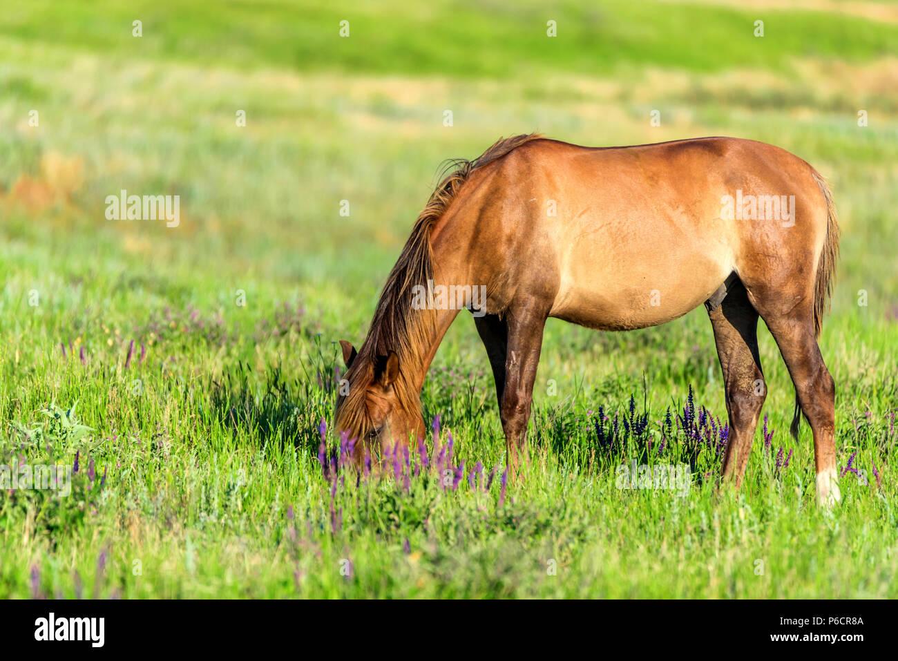 Wild horse grazes in the sunlit meadow - Stock Image
