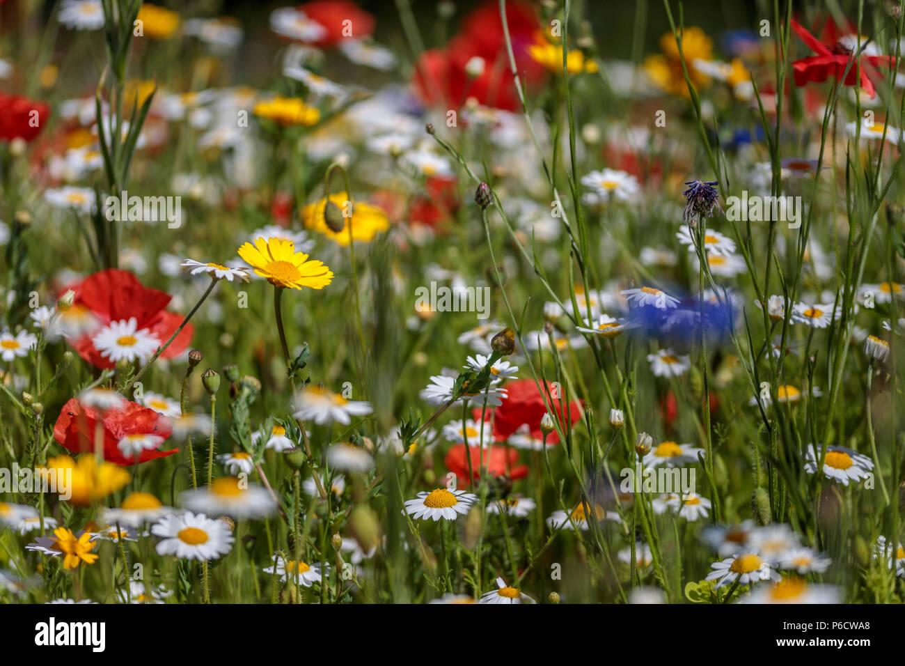 Beautiful wild flowers in the walled garden helmsley north beautiful wild flowers in the walled garden helmsley north yorkshire a mass of colour izmirmasajfo