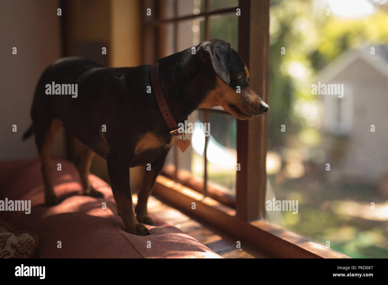 Dog standing on sofa looking out of the window - Stock Image