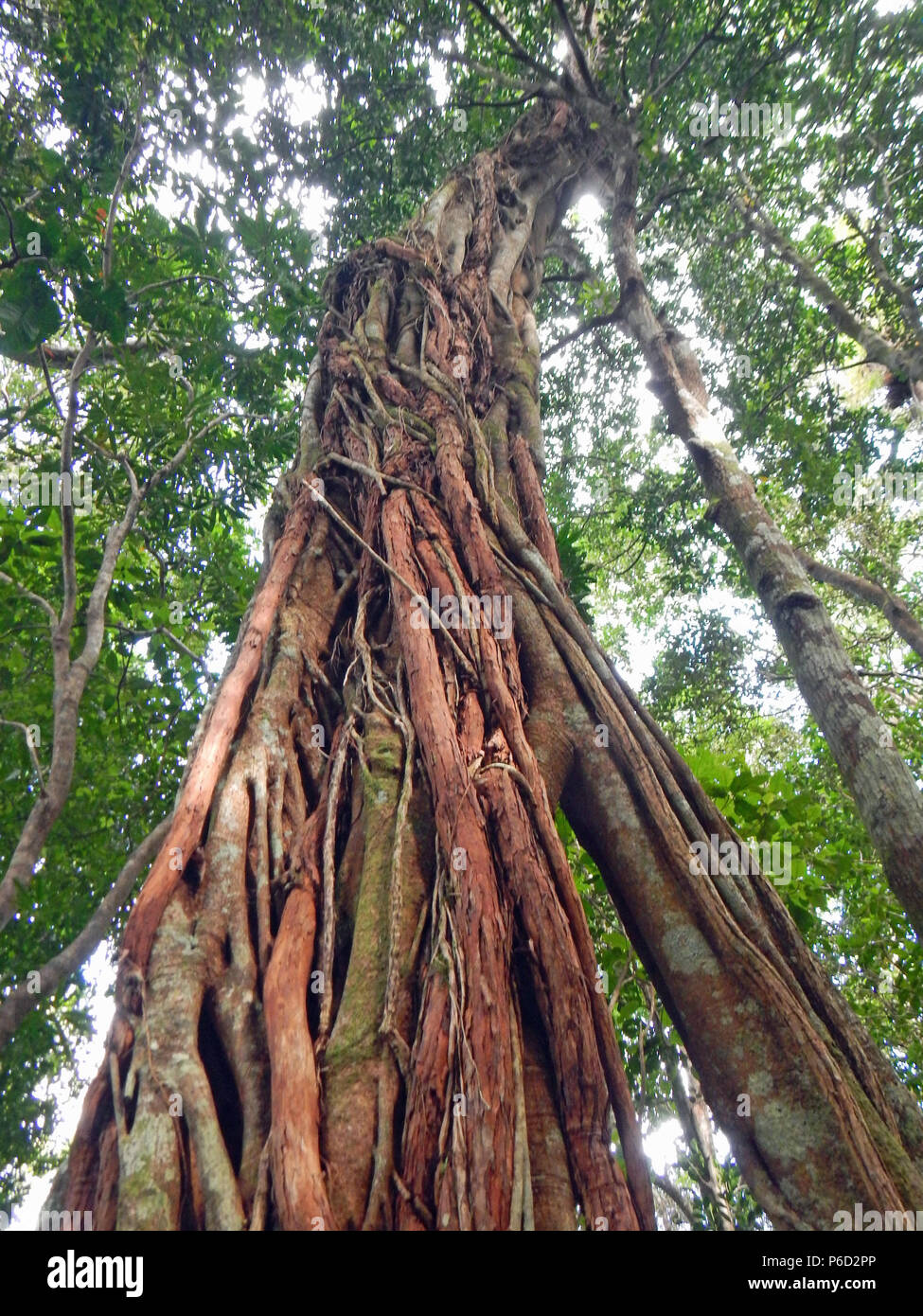 Tall tree in Noumea - Stock Image