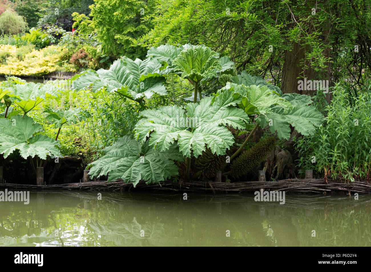 Gunnera Tinctoria, Giant rhubarb leaves in june reflecting in a pond at RHS Wisley Gardens, Surrey, England Stock Photo