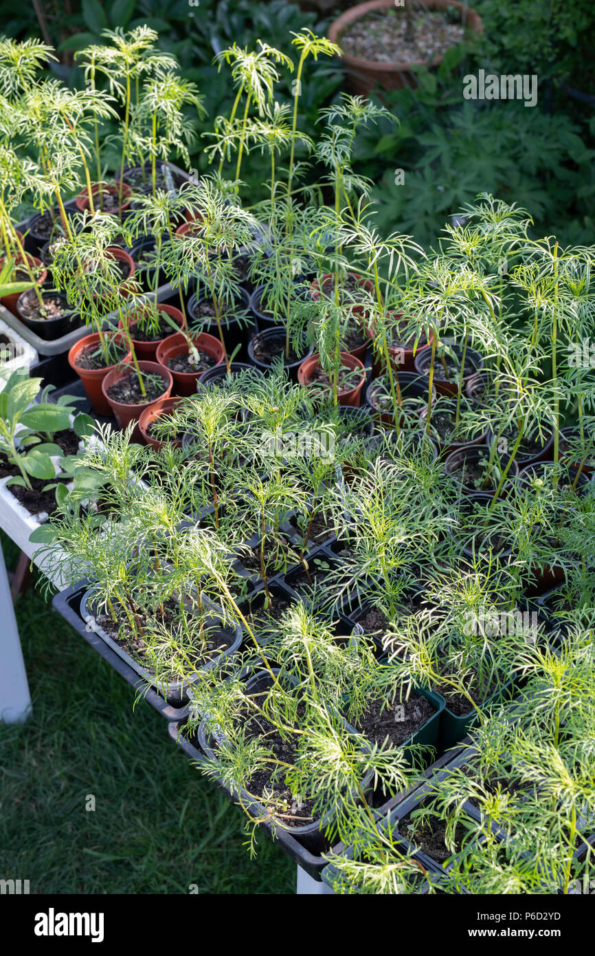 Hardening off Young cosmos plants in trays in spring. UK - Stock Image