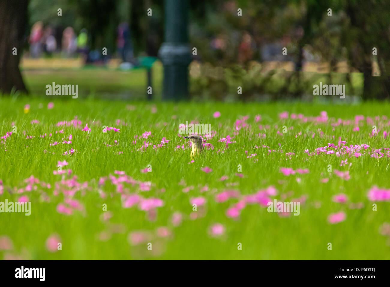 Cattle Tyrant Bird Machetornis Rixosa On A High Grass Green Field