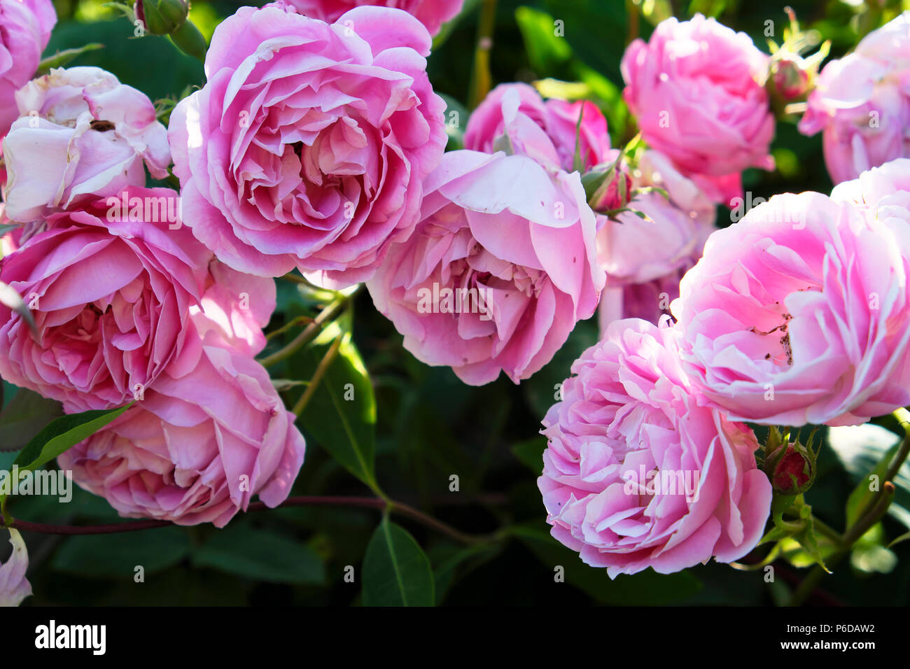Pink roses in bloom in a rural country garden in a West Wales garden Camarthenshire Dyfed Wales, UK  KATHY DEWITT - Stock Image