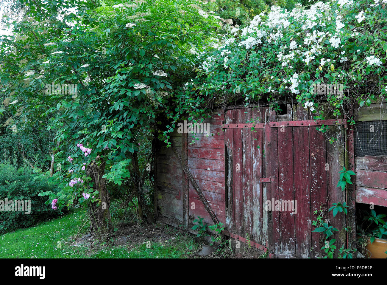 Rosa filipes Kiftsgate white rose rambling over an old railway carriage shed in rural garden in Carmarthenshire Dyfed West Wales UK   KATHY DEWITT - Stock Image