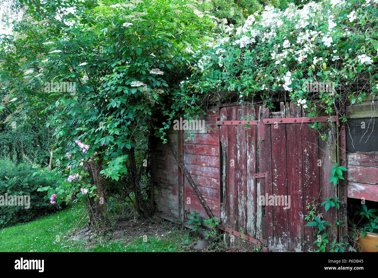 Rosa filipes Kiftsgate white rose rambling over an old railway carriage shed in rural Carmarthenshire Dyfed West Wales UK   KATHY DEWITT - Stock Image