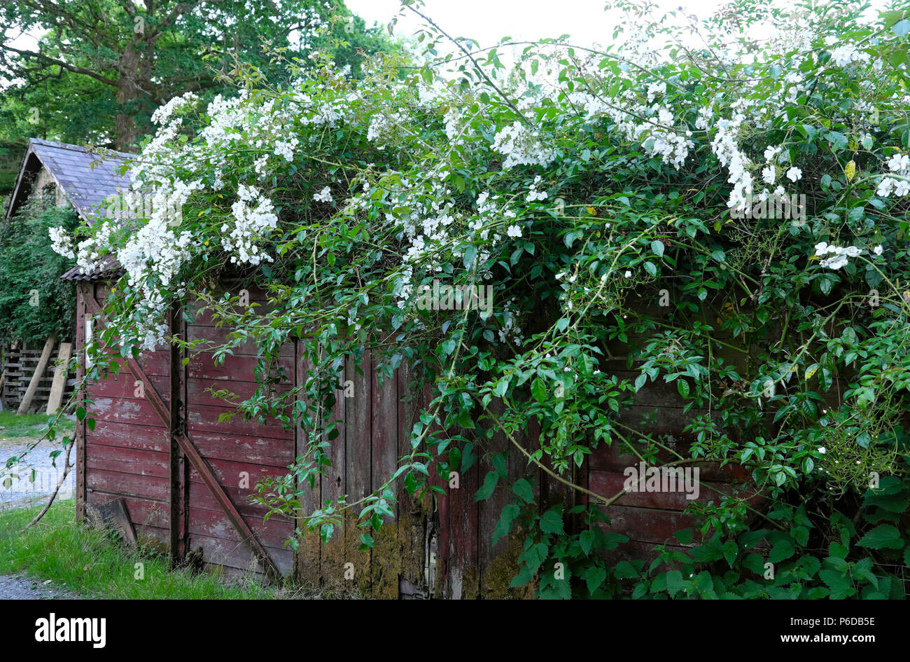 Rosa filipes Kiftsgate white rose rambling over an old railway carriage shed in a garden in rural Carmarthenshire Dyfed West Wales UK   KATHY DEWITT - Stock Image
