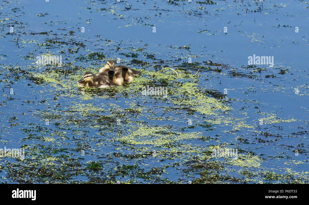 Lough Neagh, Northern Ireland. 29 June 2018. UK weather - another glorious summer day as the heatwave continues. Lough Neagh is the UK's largest freshwater lake and with weather like this it's a great place to enjoy the best summer in decades. A hot time for these mallard ducklings. Credit: David Hunter/Alamy Live News. - Stock Image