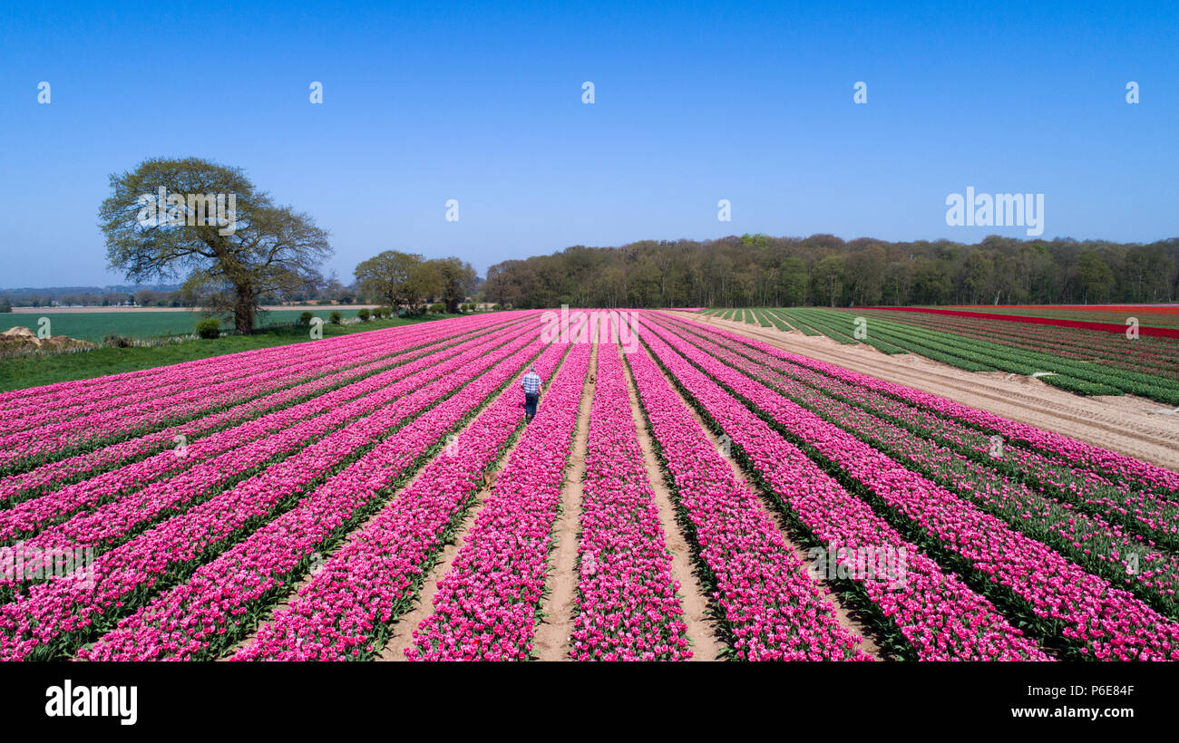 88238fe6e3ad Farmer Mark Eves checking his tulip field near King s Lynn in Norfolk on  Friday April 20th after the plants flowered in the last few days due to the  hot ...