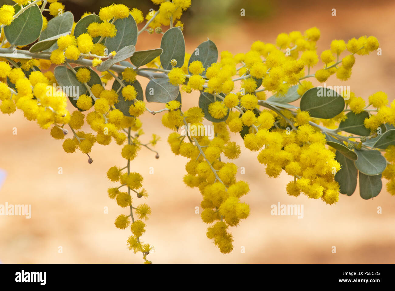 Acacia Podalyriifolia Flowers Stock Photo 210529328 Alamy