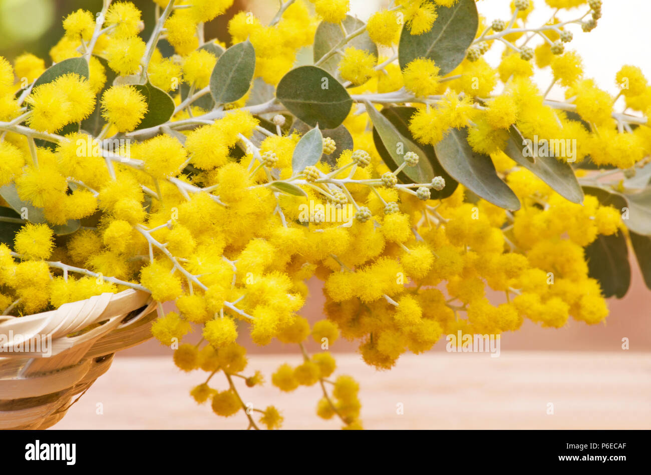 Acacia Podalyriifolia Flowers Stock Photo 210529383 Alamy