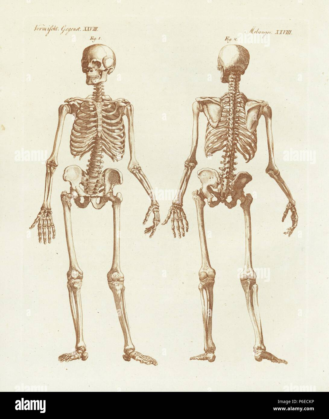 Human Skeleton From Front And Back Handcoloured Copperplate