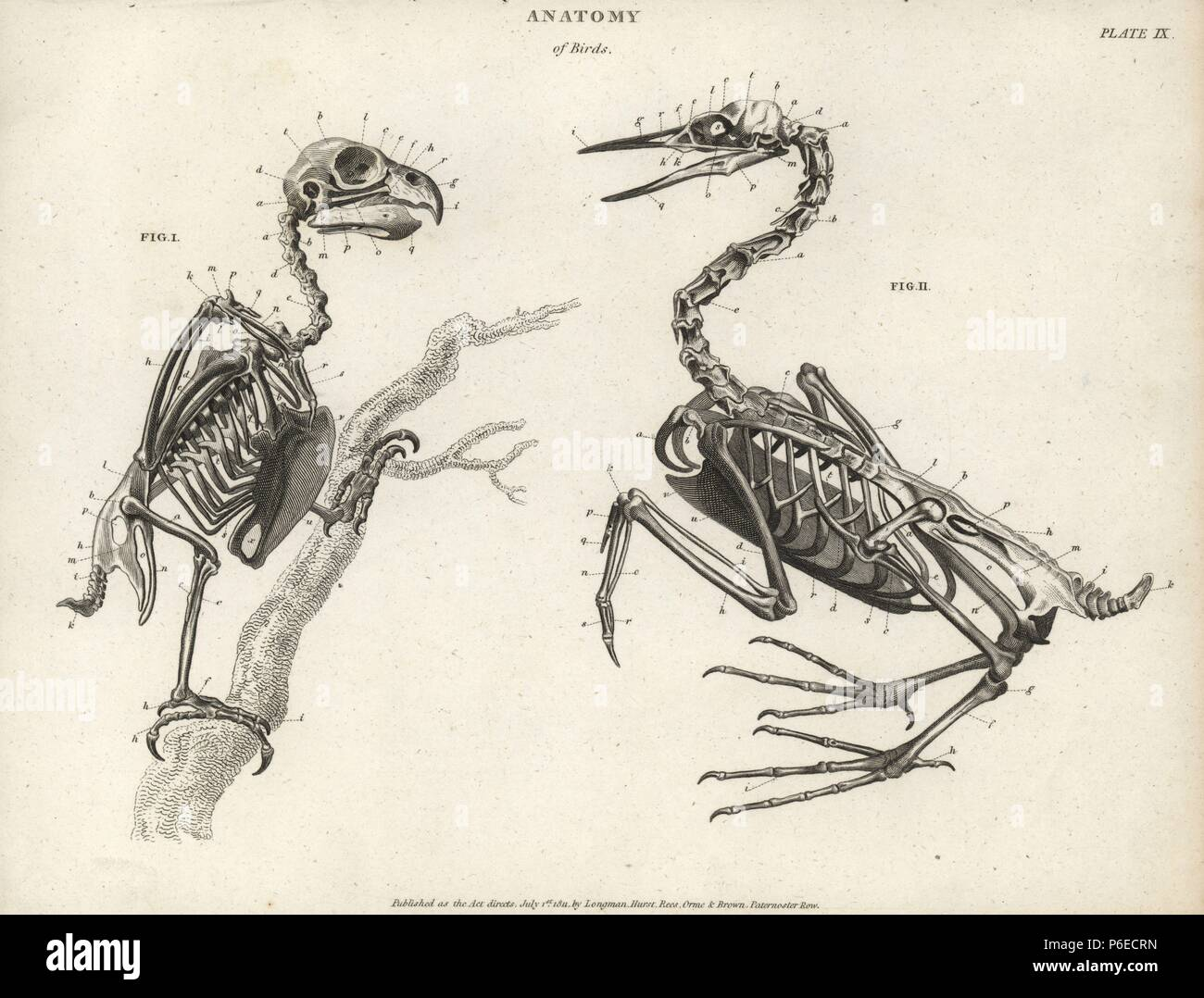 Anatomy of birds: skeleton. Copperplate engraving by Milton from ...