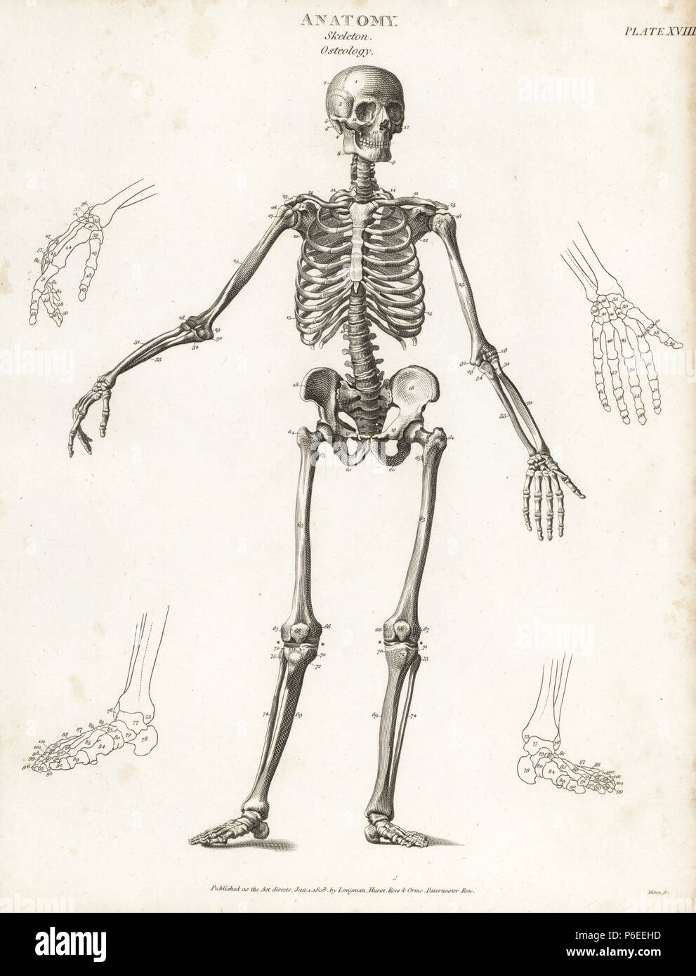 Anatomy Of The Human Skeleton Copperplate Engraving By Milton From