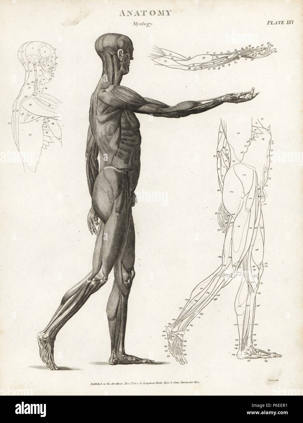 Anatomy Of Human Musculature Copperplate Engraving By Milton From