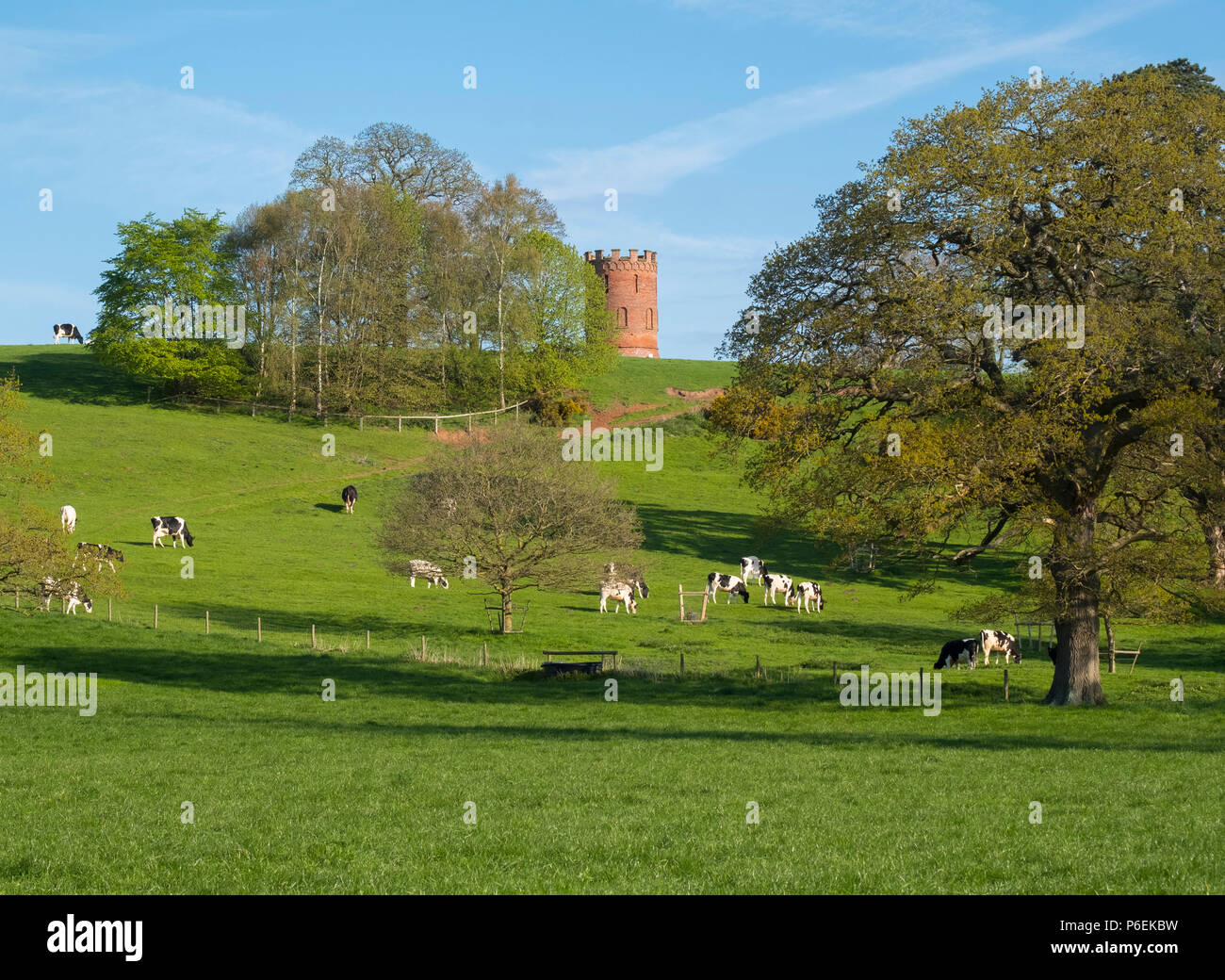 Cattle grazing beside ornate dovecote in the grounds of Davenport House, Worfield, Shropshire, UK - Stock Image