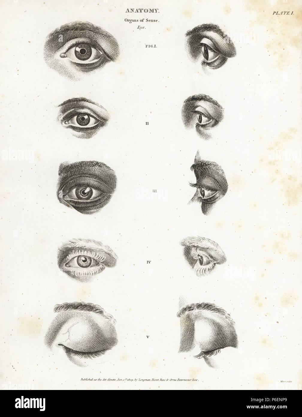 Anatomy Of The Human Eye Showing Eyeball Brow Eyelash Eyelid