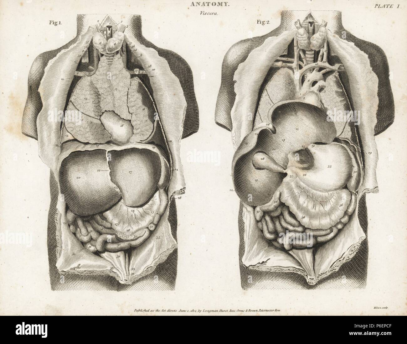 Anatomy of human internal organs from the back showing stomach ...