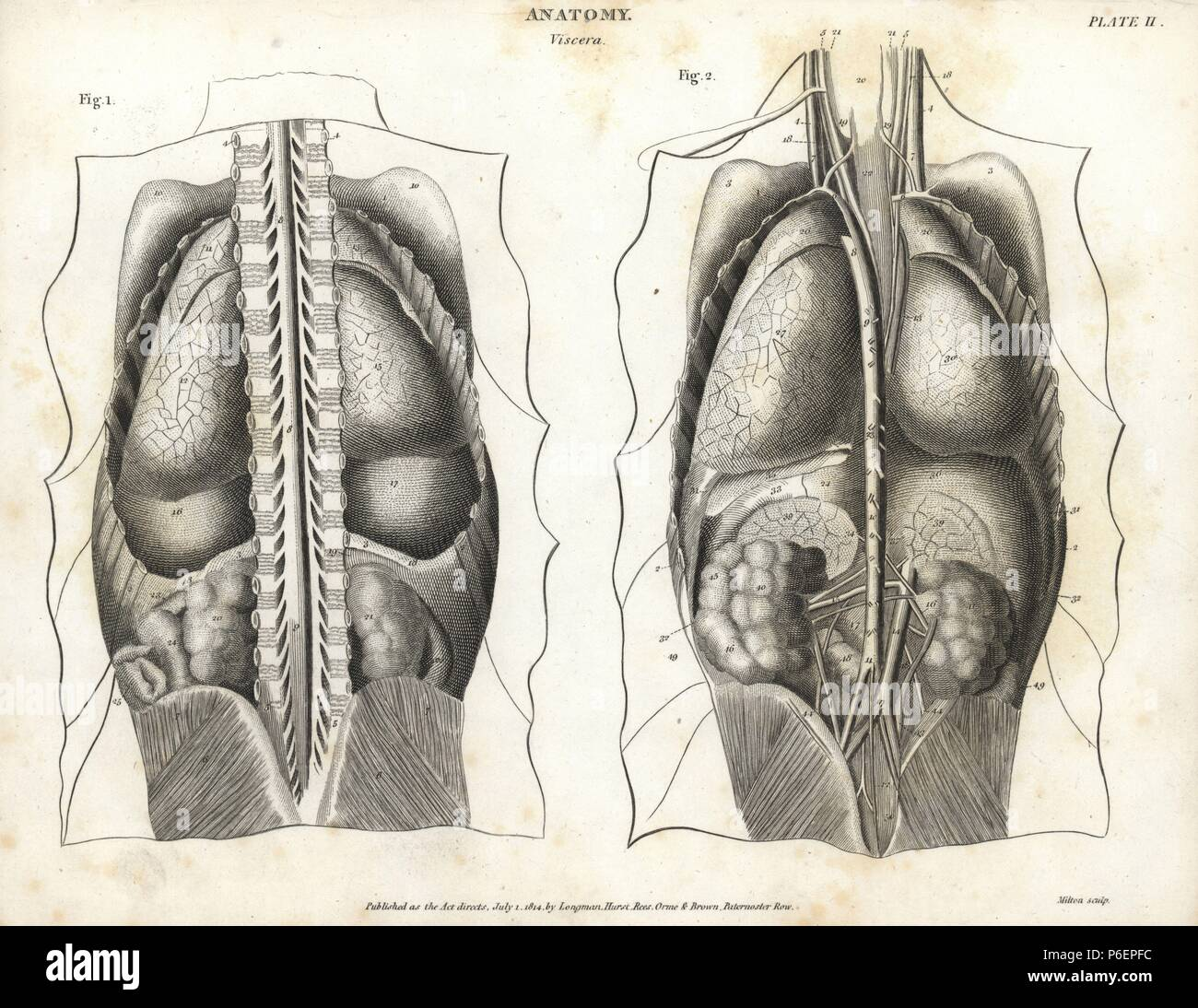 Gross Anatomy Lungs Stock Photos & Gross Anatomy Lungs Stock Images ...