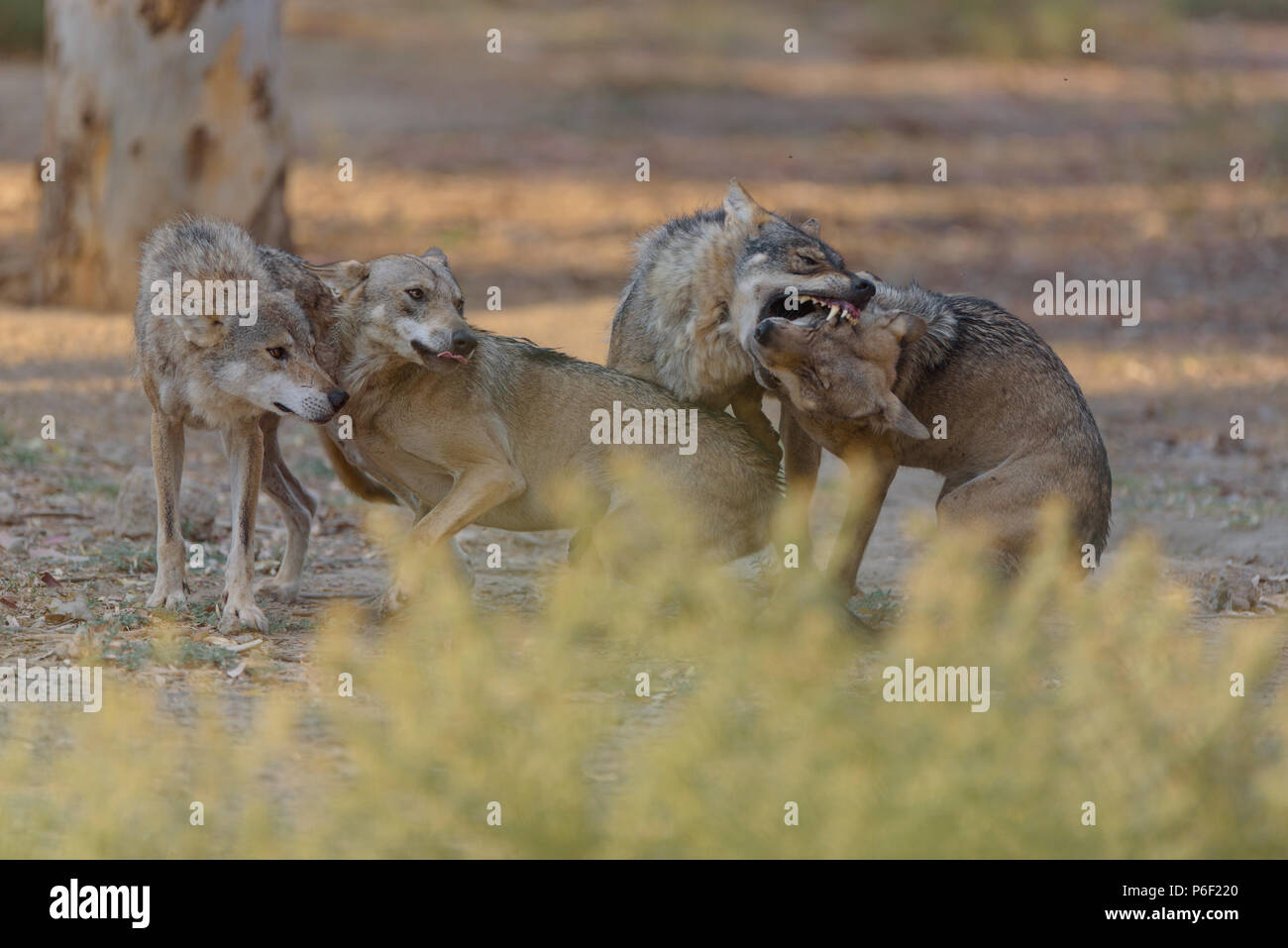 Alfa male wolf fighting with other wolves - Stock Image