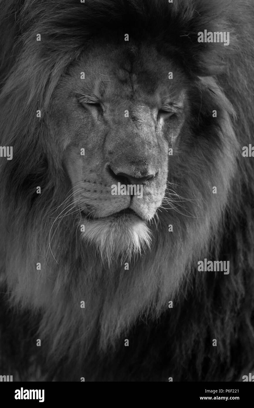 Male lion close up black and white portrait - Stock Image