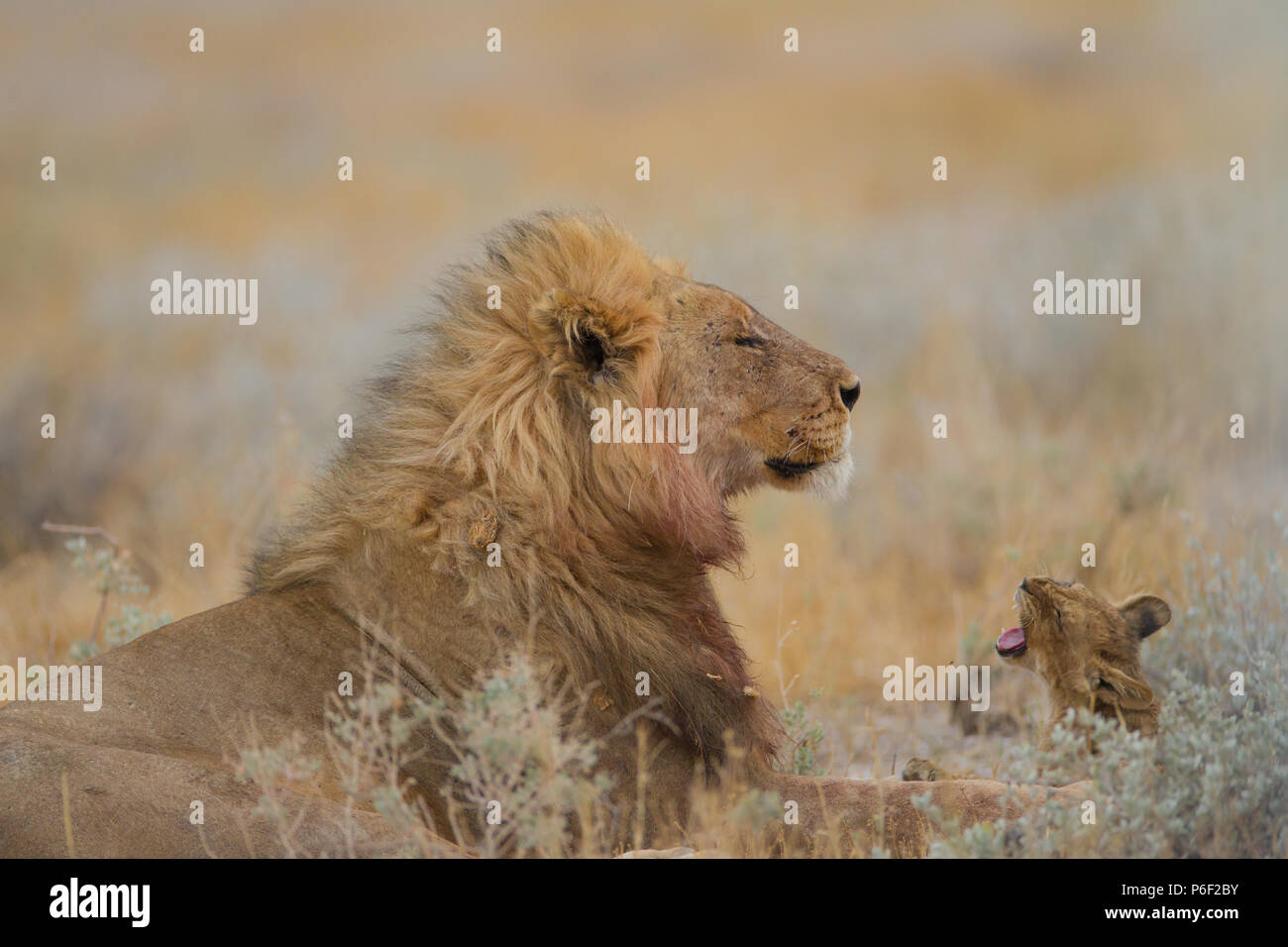 Male lion with his offspring in wilderness - Stock Image
