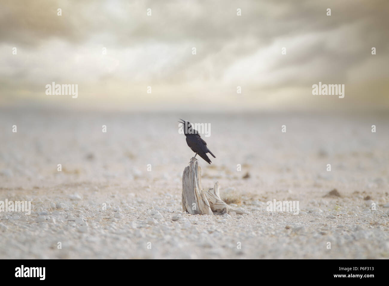Black raven in Etosha as the storm approaches - Stock Image