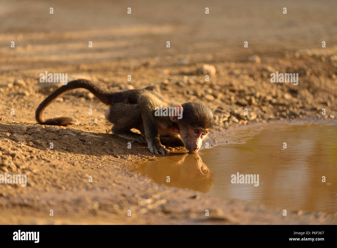 Baby baboon drinking water from a pond - Stock Image