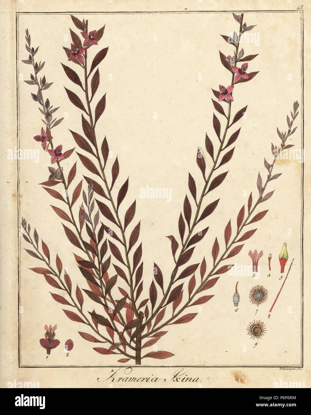 Abrojo Colorado Krameria Ixine Handcoloured Copperplate Engraving By F Guimpel From Dr Friedrich Gottlob Haynes Medical Botany Berlin 1822