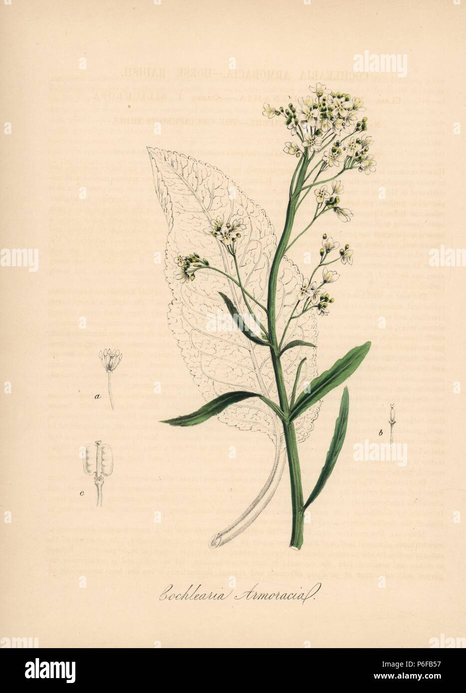 Horseradish, Cochlearia armoracia. Handcoloured zincograph by C. Chabot drawn by Miss M. A. Burnett from her 'Plantae Utiliores: or Illustrations of Useful Plants,' Whittaker, London, 1842. Miss Burnett drew the botanical illustrations, but the text was chiefly by her late brother, British botanist Gilbert Thomas Burnett (1800-1835). - Stock Image