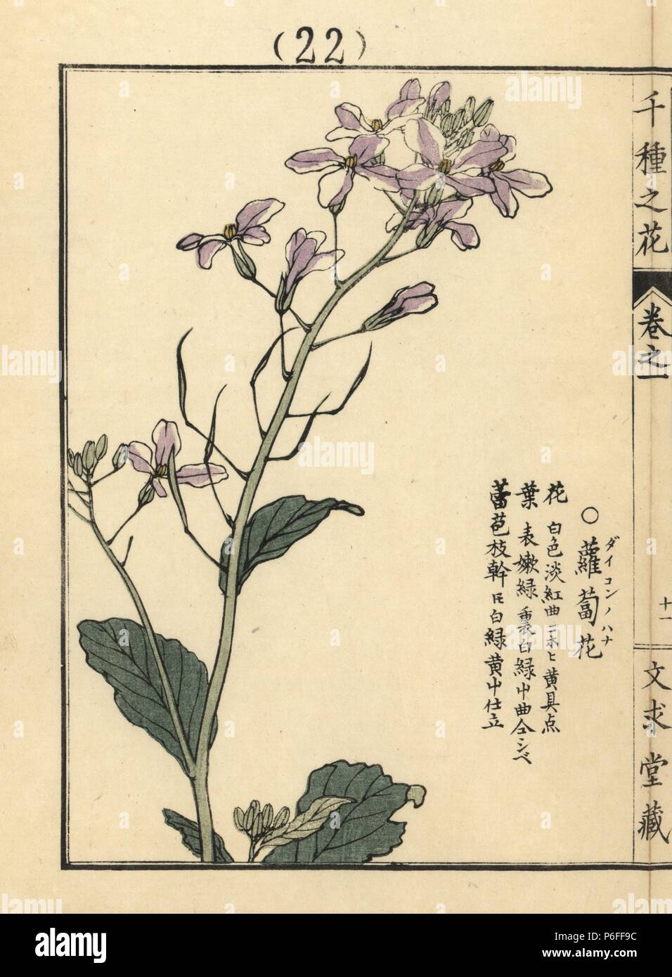 Daikon no hana or white radish flower, Raphanus sativus var. longipinnatus. Handcoloured woodblock print by Kono Bairei from Senshu no Hana (One Thousand Varieties of Flowers), Bunkyudo, Kyoto, 1900. Stock Photo