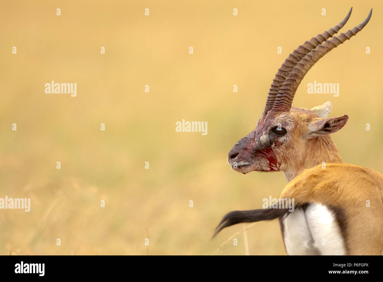 Wounded male Thomson's gazelle - Stock Image