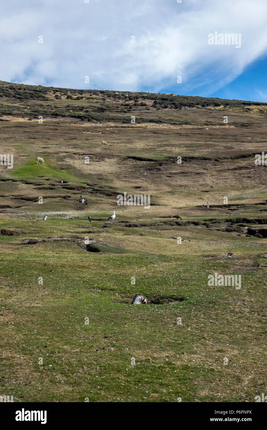 Magellanic penguins burrows in field grazed by sheep, Saunders Island, Falkland Islands Stock Photo