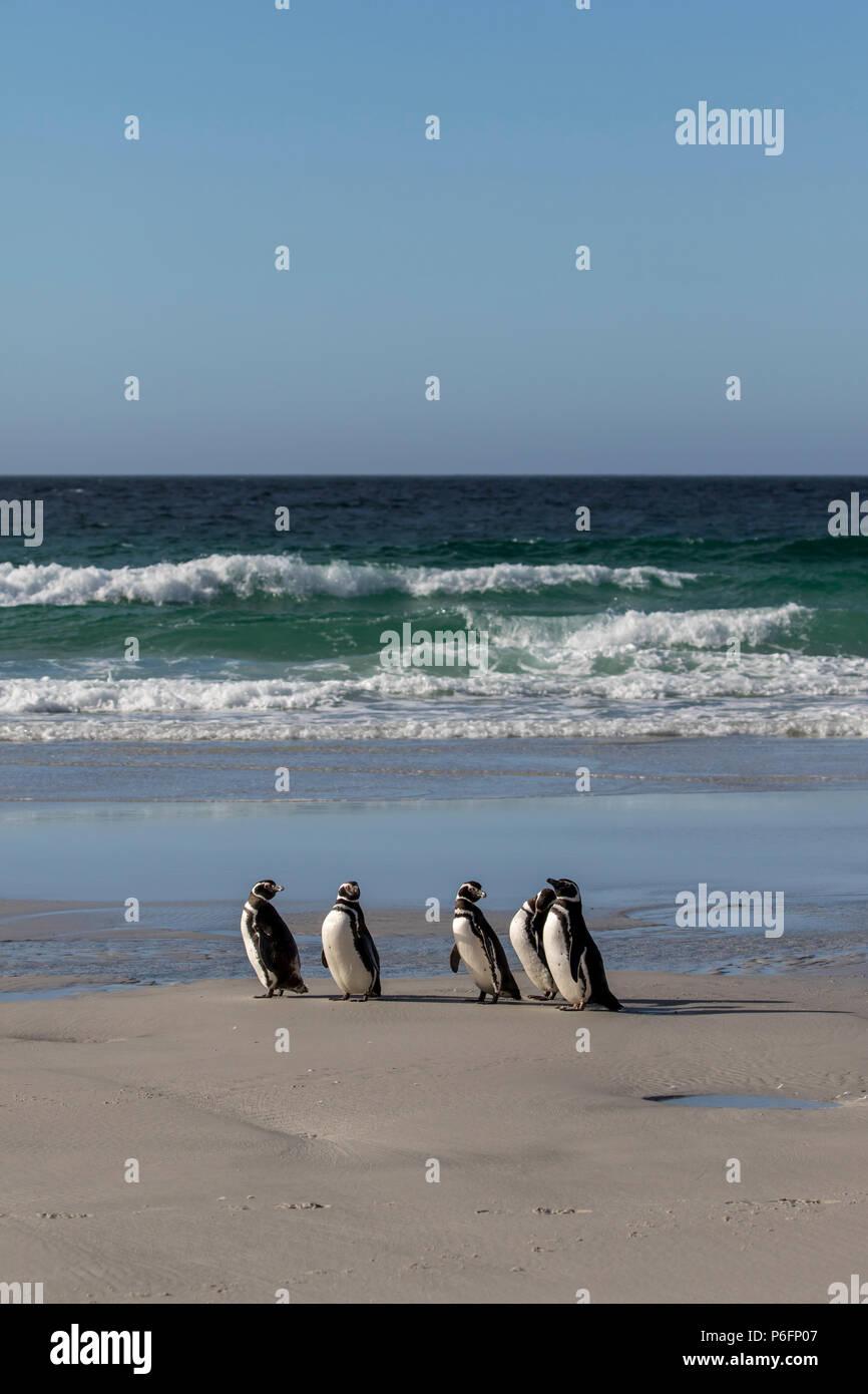 Magellanic penguins on the beach at Saunders Island, Falkland Islands Stock Photo