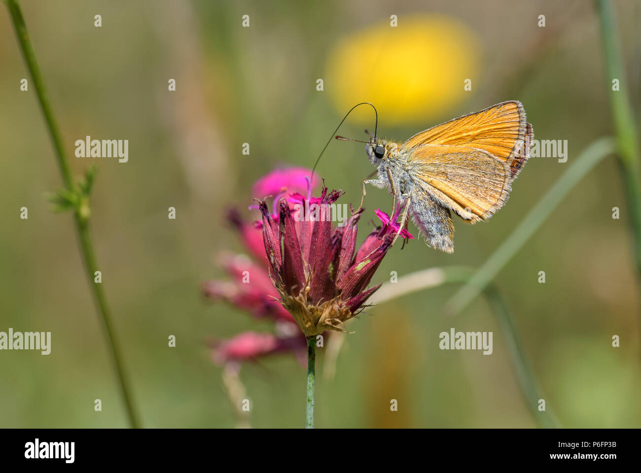 Essex Skipper - Thymelicus lineola, beautiful small orange butterfly from European meadows, Eastern Rodope mountains, Bulgaria. - Stock Image