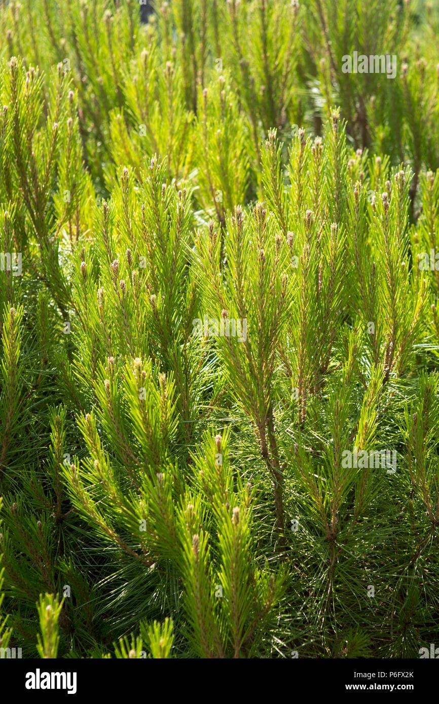 Pinus halepensis, Mediterranean Botanical garden, Soller, Mallorca, Spain Europe - Stock Image