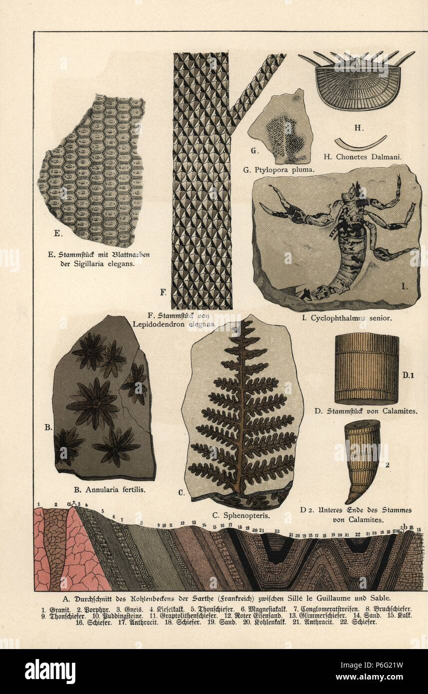 "Fossils of plants including Annularia fertilis, foliage Sphenopteris, horsetail Calamites, Sigillaria elegans, Lepidodendron elegans, Ptylopora pluma, Chonetes dalmani, and a scorpion Cyclophthalmus senior. Chromolithograph from Dr. Fr. Rolle's ""Geology and Paleontology"" section in Gotthilf Heinrich von Schubert's ""Naturgeschichte,"" Schreiber, Munich, 1886. Stock Photo"