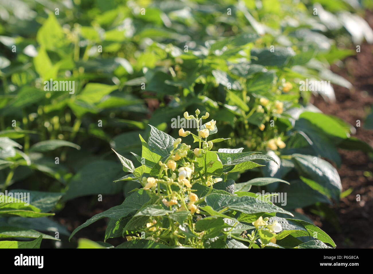 Kidney Bean Plant Garden High Resolution Stock Photography And Images Alamy