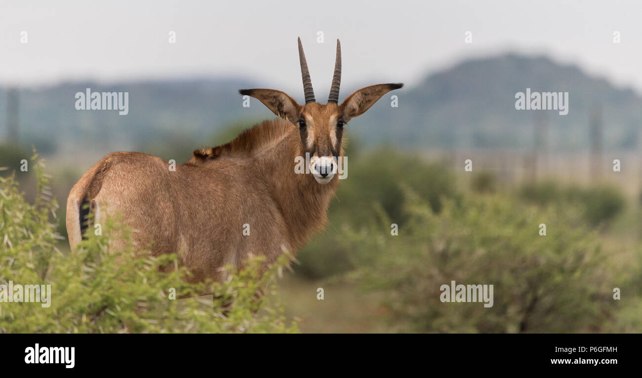 Roan Antelope turned to face the camera in a farm landscape in Northern Cape, South Africa - Stock Image