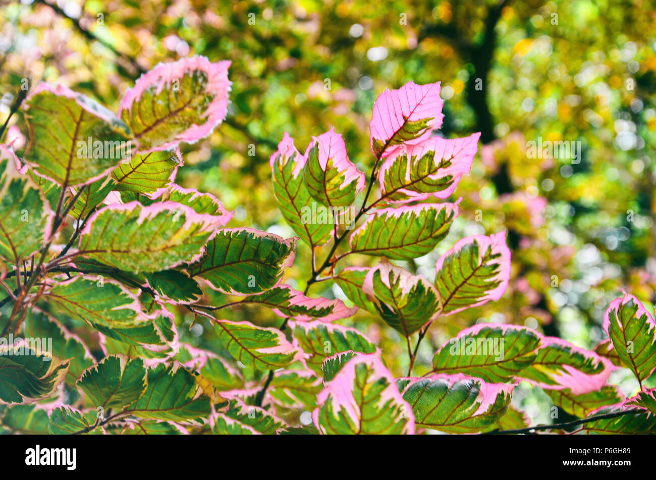 Colorful leaves of a tricolor european beech tree, Fagus sylvatica. - Stock Image