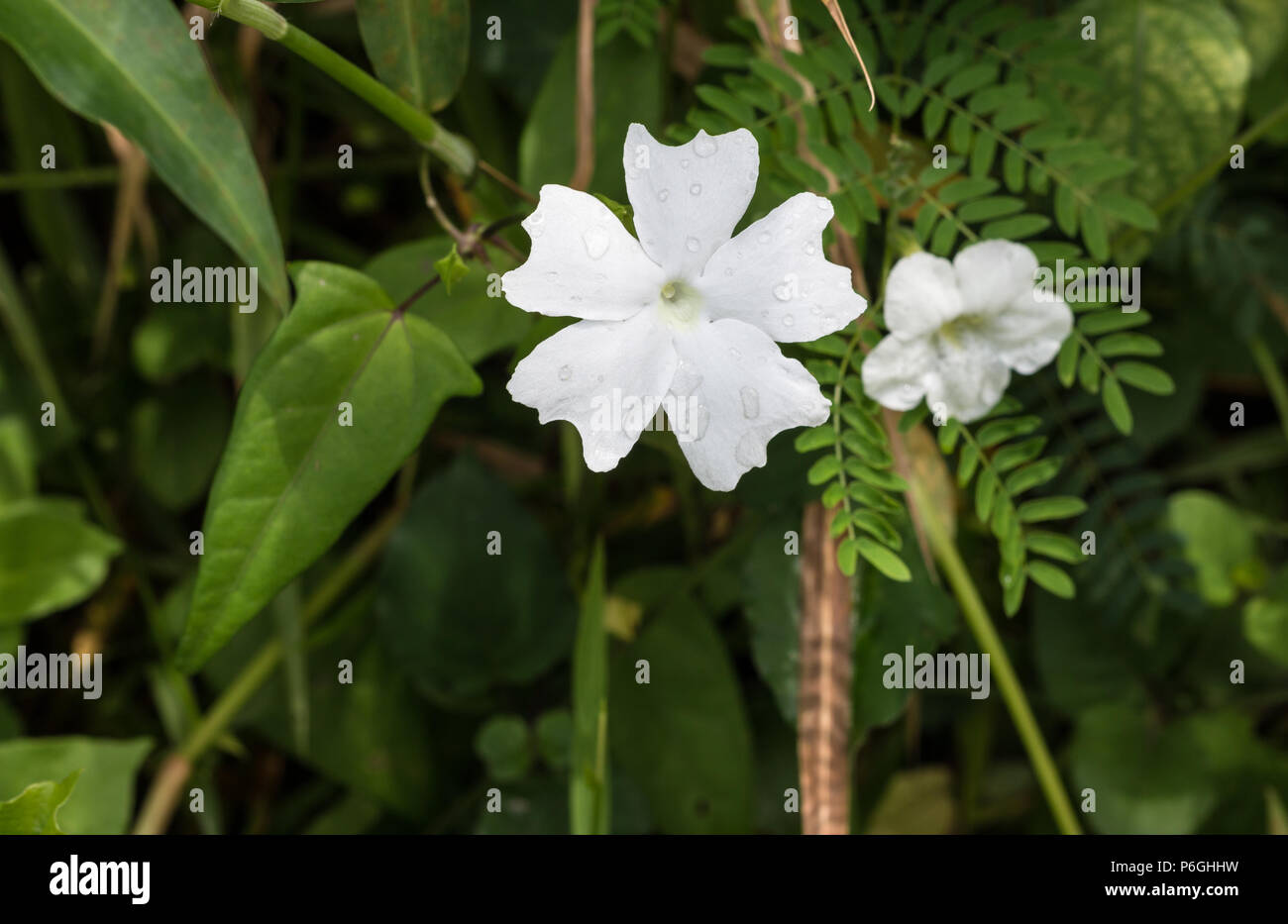 Small white scented flowers stock photos small white scented jasminum sambac also called pikake in hawaiian are small white scented flowers mightylinksfo
