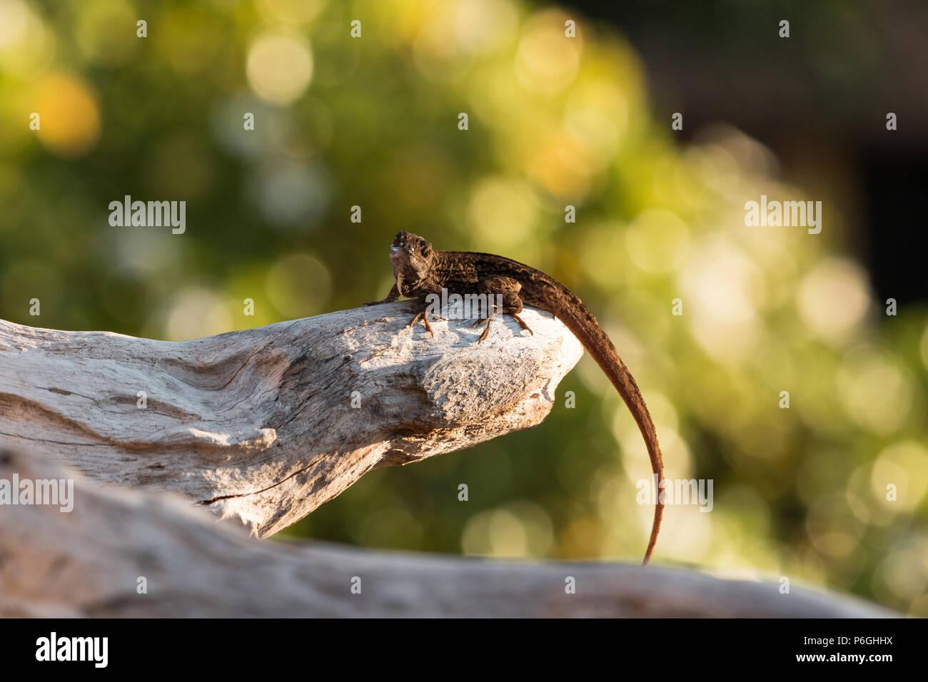 Anolis Sagrei Stock Photos & Anolis Sagrei Stock Images ...