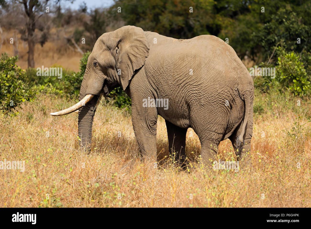 Large African bull elephant (Loxodonta africana), Kruger National Park, South Africa Stock Photo