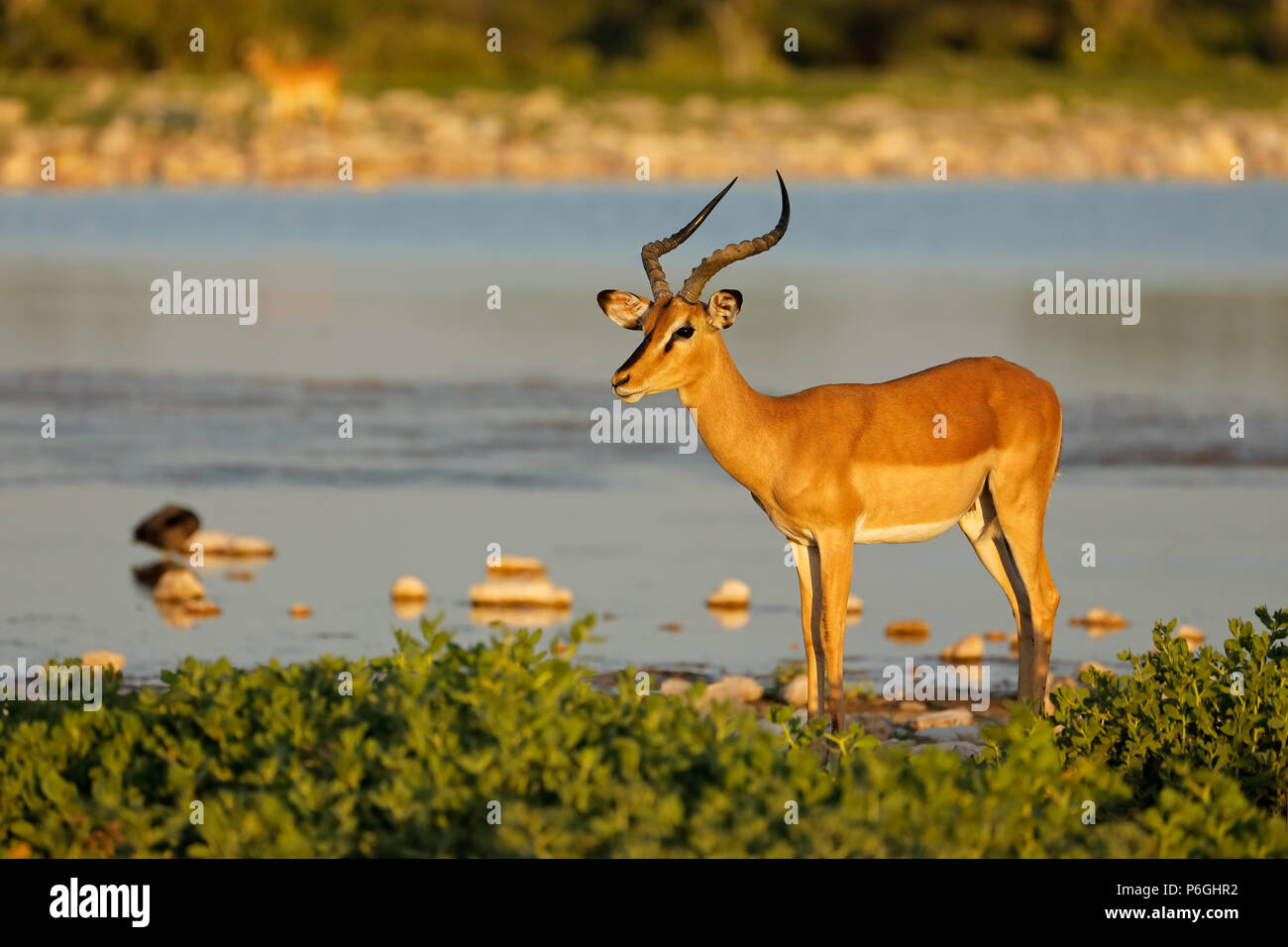 An impala antelope (Aepyceros melampus) at a waterhole, Etosha National Park, Namibia - Stock Image