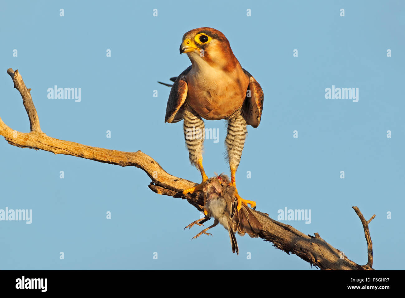 A red-necked falcon (Falco chiquera) with bird prey, South Africa Stock Photo