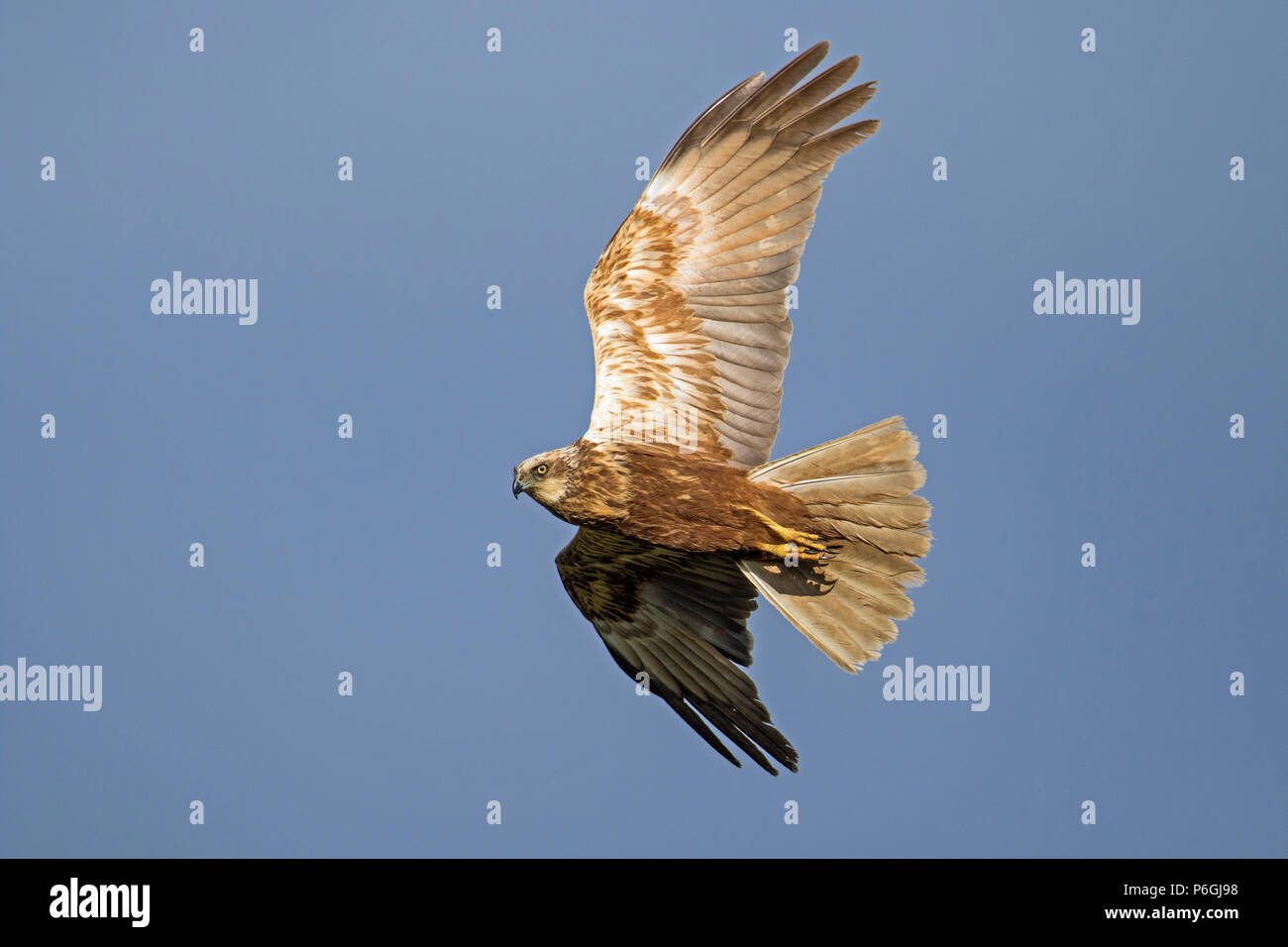 Female Marsh Harrier (Circus aeruginosus) in flight, Cambridgeshire, England Stock Photo